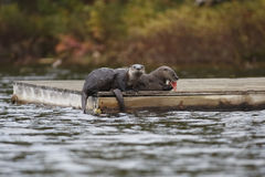 Północnoamerykańskie Rzeczne wydry na doku Obraz Stock