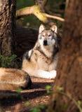Północnoamerykańskiego Timberwolf dzikiego zwierzęcia drapieżnika Wilcza Z rodziny psów alfa Zdjęcia Stock