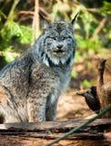 Północnoamerykańskiego Timberwolf dzikiego zwierzęcia drapieżnika Wilcza Z rodziny psów alfa Zdjęcie Stock
