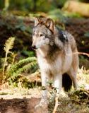 Północnoamerykańskiego Timberwolf dzikiego zwierzęcia Predetor Wilczy Z rodziny psów mięso Obrazy Stock