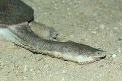 Północny australijski necked żółw obrazy stock