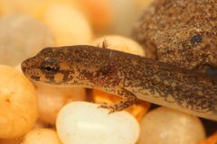 Północny Ciemniusieńki jaszczur (Desmognathus fuscus) Obrazy Stock