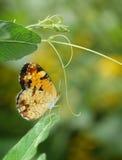 Północny Crecent Motyl na winogradzie z kopii przestrzenią Fotografia Stock
