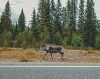 Północny Finlandia, reniferowy odprowadzenie przy stroną droga z lasem w tle na letnim dniu Obraz Stock