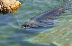 Północny futerkowej foki Callorhinus ursinus femaleness zdjęcie stock