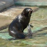 Północny futerkowej foki Callorhinus ursinus femaleness obrazy royalty free