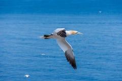 Północny gannet fou de bassan na Bonaventure wyspie Canada, Quebec, perka fotografia royalty free