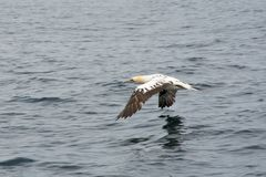 Północny gannet Morus bassanus latanie fotografia stock