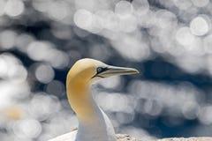 Północny gannet Morus bassanus szuka zdobycza obrazy stock