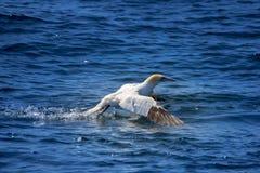 Północny gannet zdejmował Fotografia Royalty Free