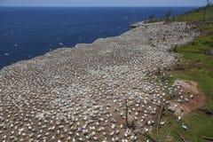Północny Gannets Rookery na Bonaventure wyspie zdjęcia stock