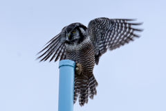 Północny jastrząb sowy lądowanie Zdjęcia Royalty Free