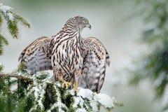 Północny jastrzębia lądowanie na świerkowym drzewie podczas zimy z śniegiem Przyrody scena od zimy natury Ptak zdobycz w lasowym  Obrazy Royalty Free