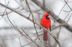 Północny kardynał Zdjęcia Royalty Free