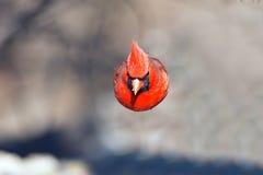 Północny kardynał zdjęcia stock