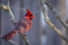 Północny kardynał obrazy stock