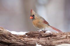Północny kardynał na Naturalnej Drewnianej żerdzi Obrazy Royalty Free