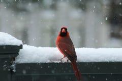 Północny kardynał w śniegu Fotografia Royalty Free