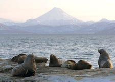 północny lwa morze Zdjęcia Royalty Free