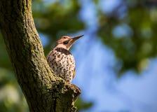 Północny migotanie na drzewie w lecie fotografia stock