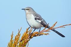 Północny Mockingbird Zdjęcia Royalty Free