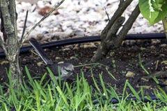 Północny mockingbird, Mimus polyglottos/- Varadero, Kuba fotografia royalty free