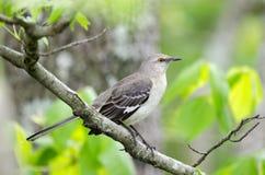 Północny Mockingbird, Monroe Gruzja usa fotografia stock