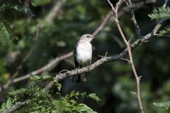 Północny Mockingbird ptak, Walton okręgu administracyjnego dziąsła obraz royalty free