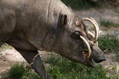 Północny Sulawesi babirusa, świnia, samiec obraz royalty free