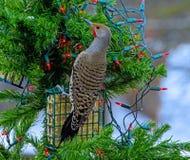 Północny w Plenerowych bożonarodzeniowe światła Fotografia Royalty Free