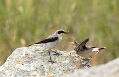 Północny wheatear, Oenanthe oenanthe, męski ptak w lęgowym upierzeniu, wokoło karmić swój młodego podgniezdnika z insektem Zdjęcie Stock