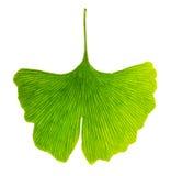 Półprzezroczysty ginkgo biloba liść w przepuszczonym świetle obrazy stock
