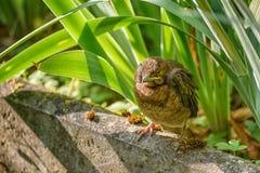 Półsenny kurczątko czeka karmienie Pospolity kos w naturalnym siedlisku Photohunting zdjęcie stock