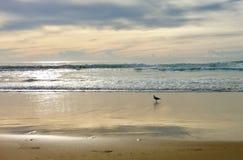 Późne popołudnie plażowa scena z seagull fotografia royalty free