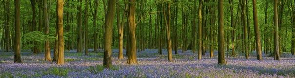 Późne popołudnie w pięknym bluebell drewnie Fotografia Royalty Free