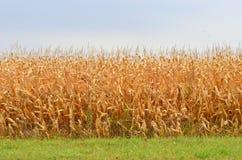 Późnego lata kukurydzany pole Fotografia Stock