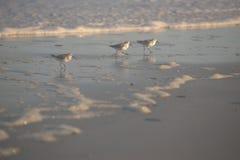 Późnego popołudnia słońca połysk jaskrawy dzielą polowanie mlejącego na sy na trzy sandpipers na Floryda beachThe Północnych snad fotografia stock