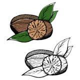 Pó inteiro e esmagado da noz-moscada Especiarias isoladas no fundo branco Ilustração do vetor Pode ser usado para o pacote ilustração stock