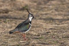 Północna czajka (Vanellus vanellus) Fotografia Royalty Free