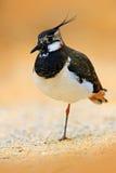 Północna czajka, Vanellus vanellus, portret wodny ptak z grzebienia Wodnym ptakiem w piaska siedlisku Francja Przyrody scena dla Zdjęcia Stock