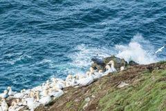 Północna gannet kolonia (Morus bassanus) Zdjęcie Royalty Free