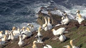 Północna gannet kolonia (Morus bassanus) Obraz Royalty Free