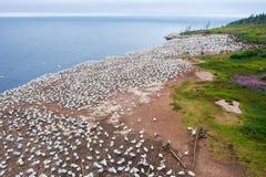 Północna gannet kolonia na Bonaventure wyspie Obrazy Royalty Free