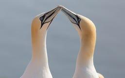 Północna gannet para Zdjęcia Royalty Free