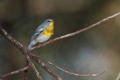 północnego parula warbler Fotografia Stock