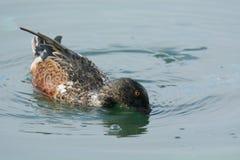 Północnego Shoveler kaczka Drake zdjęcia stock
