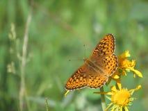 Północnego zachodu motyl Zdjęcie Royalty Free