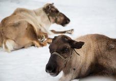 Północni deers Zdjęcia Stock