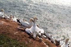 Północni gannets, Helgoland, Niemcy Zdjęcia Stock