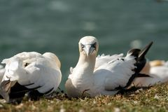 Północni gannets, Helgoland, Niemcy Obraz Royalty Free